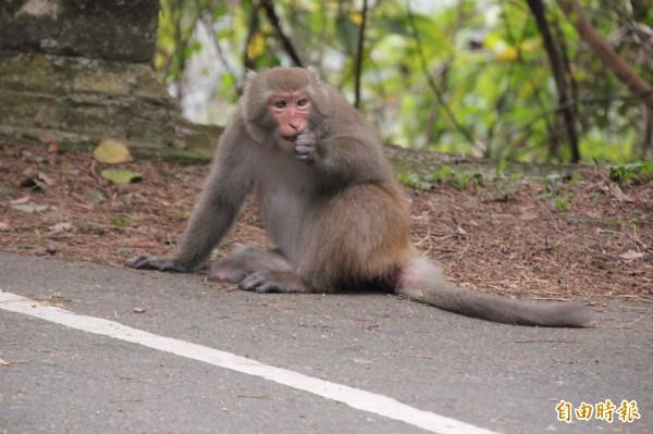 這隻被人棄養的台灣獼猴就在新竹縣飛鳳山代勸堂旁的路邊停車格上啃著食物,完全不閃避人群。(記者黃美珠攝)