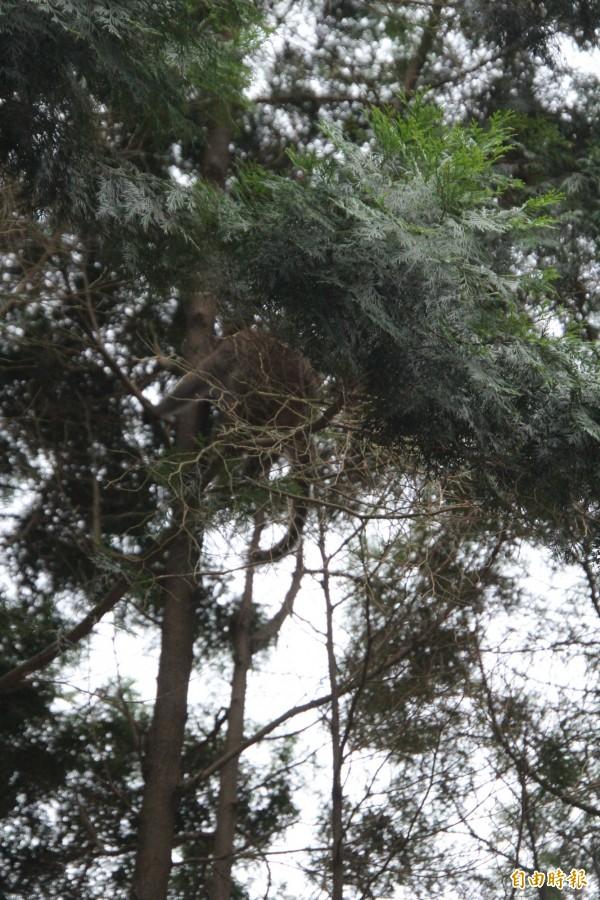 看到登山客駐足,被棄養的台灣獼猴一躍而上跳到停車格旁的路樹上。(記者黃美珠攝)