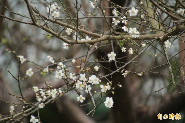 新竹縣芎林鄉飛鳳山因為梅樹成林,到了冬季梅花綻放時有「飛鳳探梅」的美名。(記者黃美珠攝)