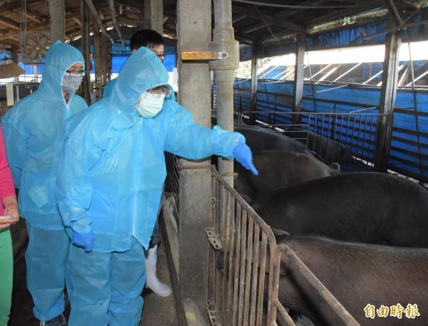 彰化縣長王惠美穿上隔離衣視察養豬場,要求業者改餵飼料,降低感染疫情風險。(記者陳冠備攝)