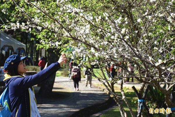 角板山梅花季活動登場,首週假日2天攬客1.8萬,遊客駐足梅樹前拍照。(記者李容萍攝)
