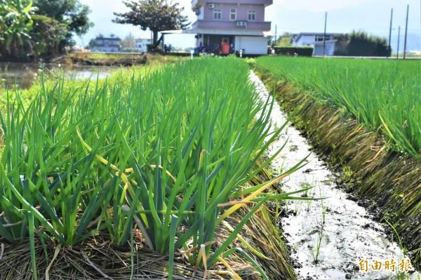 宜蘭縣青蔥價格走跌,一月迄今市場均價每公斤為39.7元,農民抱怨採收不符成本。(記者張議晨攝)