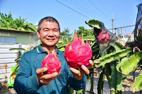 陳贊仁栽種的火龍果(右),均重達1200公克,是一般(左)的近3倍大。(記者吳俊鋒攝)