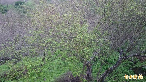 暖冬亂序,加上雨量不足,鸞山梅樹開花狀況不復往年。(記者陳賢義攝)