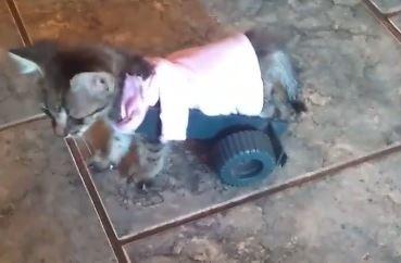 有了後輪,小貓就可以正常行動。(圖擷自臉書)