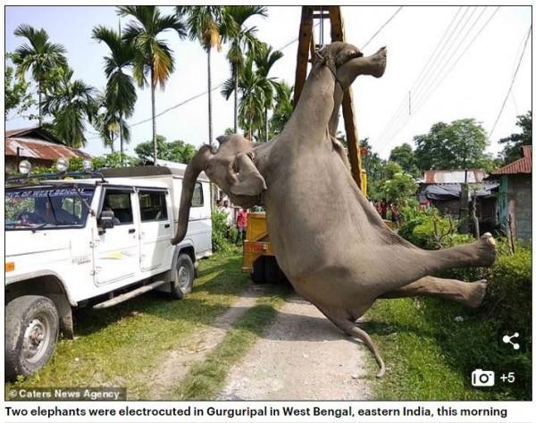 印度西孟加拉邦的古爾古里帕爾地區(Gurguripal)19日上午有2隻成年大象遭電死,陳屍在當地村落的稻田中。(圖擷取自《每日郵報》)