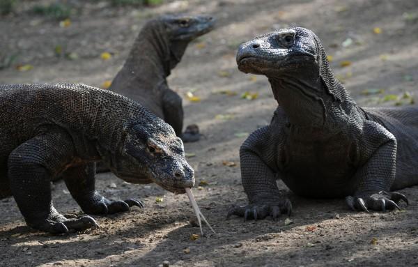 科摩多國家公園為維持科摩多龍生態平衡,將關閉1年。(法新社)