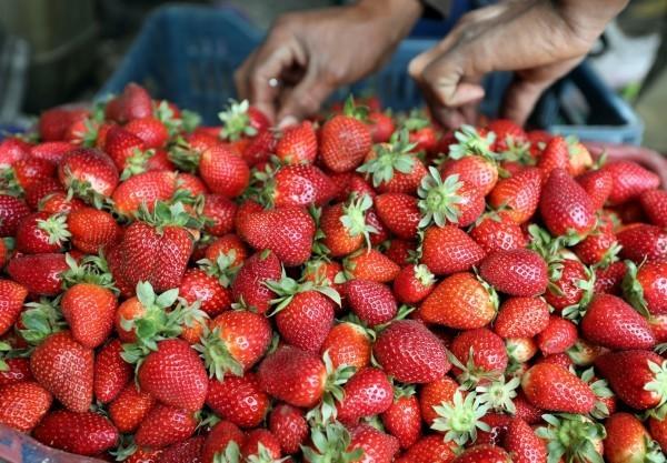 農業藥物毒物試驗所公布最新蔬果農藥殘留監測報告,其中農藥殘留最嚴重、不合格率最高的蔬菜依序為芹菜、豌豆和蘿蔔;水果的部分則是,草莓(圖)、柑桔與百香果。(路透)
