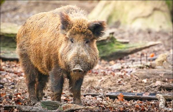 丹麥擔心目前肆虐中國與東歐的非洲豬瘟由野豬眾多的德國入境。(歐新社檔案照)