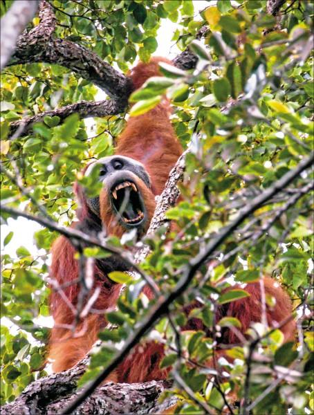 新近發現的塔巴努里猩猩是全球最稀有的猩猩,其已知唯一的棲地恐因中資水壩工程而遭摧毀。(法新社檔案照)
