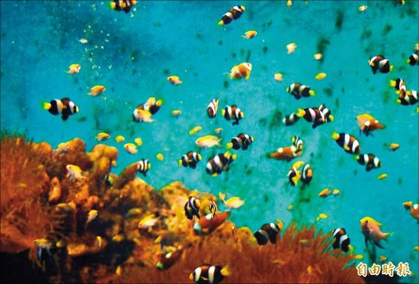 台東海洋夢想館將展出人工培育的新穎小丑魚品系。(記者張存薇攝)