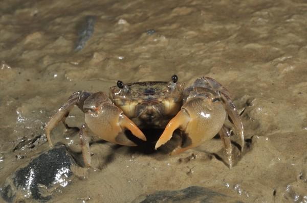 保力溪陸蟹生態豐富。(記者蔡宗憲翻攝)