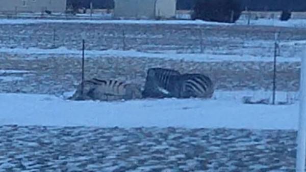 美國印第安那州一隻斑馬被圍欄卡住後,因為冷空氣在肺部結晶而喪命。(圖擷自Sonya Kendall臉書)