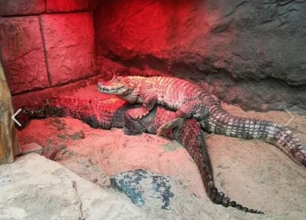 波蘭一間動物園中的一個觀光景點,便是一對鱷魚夫婦激烈的交配行為,然而,40年過去了,這一對鱷魚夫婦卻沒有任何後代,專家研究才發現,原來是公鱷魚的生殖器太小,導致無法懷孕。(圖取自Poznan Zoo官方臉書)