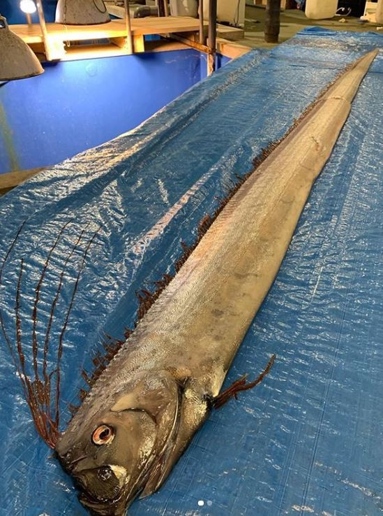 日本北部富士縣2日捕獲2隻巨型皇帶魚,其中一隻長達近4公尺。(圖擷取自Instagram)