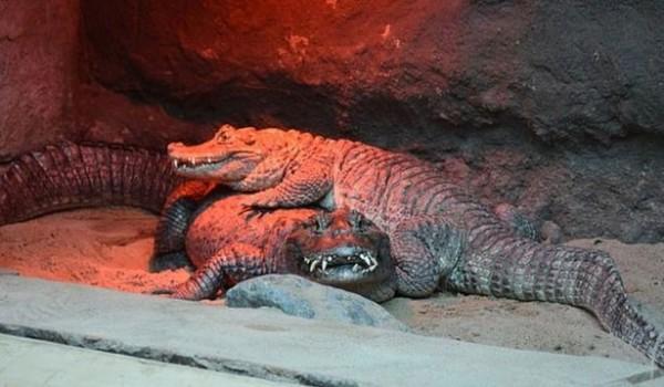 一對鱷魚夫婦激烈的交配行為,40年卻沒有任何後代,原來是公鱷魚(上方)的生殖器太小,導致無法懷孕。(圖取自Poznan Zoo官方臉書)