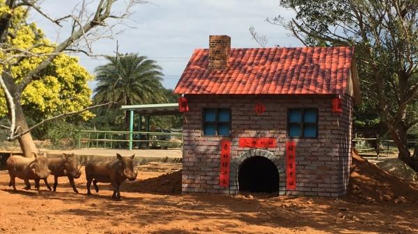 全台灣唯一擁有非洲疣豬的六福村,結合三隻小豬童話故事,為園區內的疣豬三姊妹:珍珠、愛珠、寶珠精心打造三棟房屋!(記者蔡彰盛翻攝)