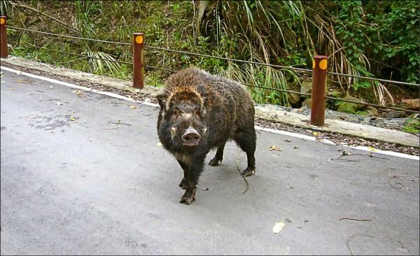 台灣野豬(圖片提供/林務局新竹林區管理處大湖工作站)