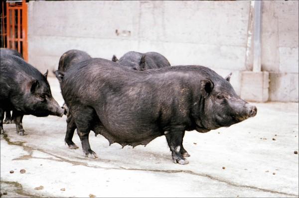 蘭嶼豬(圖片提供/畜產試驗所賴永裕研究員)