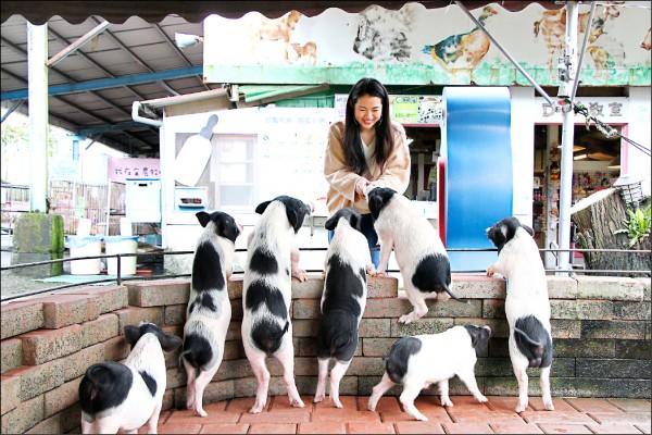 在宜農牧場餵食可愛的豬寶寶,看著牠們貪吃激動的模樣,不禁讓人會心一笑。(記者沈昱嘉/攝影)