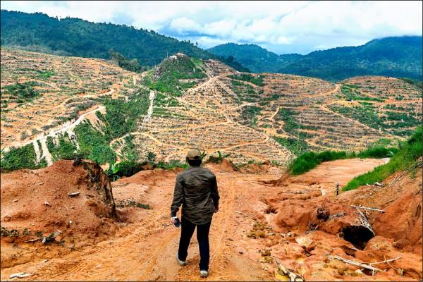 榴槤近年來廣受中國客喜愛,在馬來西亞政府鼓勵政策帶動下,當地企業積極伐林闢地,成為導致該國雨林大片消失的另一元凶,棲息當地的老虎、大象、靈長類、犀鳥等動物,恐成最大犧牲者。圖為吉隆坡近郊勞勿(Raub)的榴槤園。(法新社檔案照)