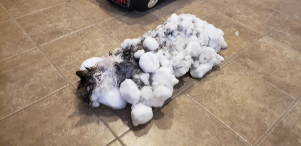 美國蒙大拿州3歲貓咪Fluffy,在雪地裡幾乎整隻結凍。(美聯社)
