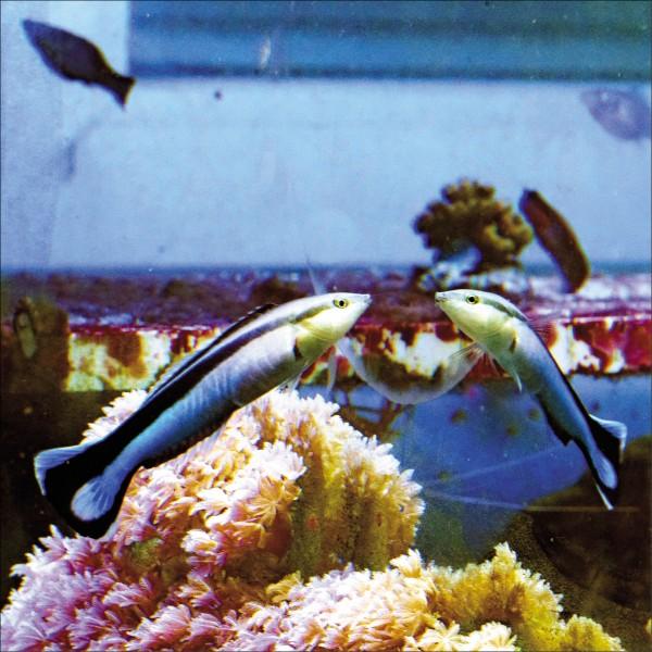 新研究顯示,體長僅約10公分的熱帶魚「裂唇魚」會照鏡子。(路透)