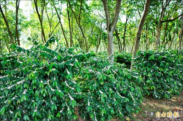 舞鶴的咖啡園以「森林咖啡」為特色。(記者花孟璟攝)