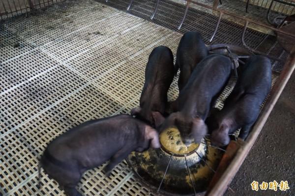 預防非洲豬瘟,環保署今年9天春節假期間稽查174個廚餘養豬場,多達64場違規,其中34場依違反廢棄物清理法告發。圖為養豬場示意圖。(資料照)