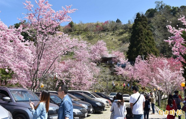 北橫櫻花季即將登場,粉嫩櫻花接力炸開。(記者李容萍攝)