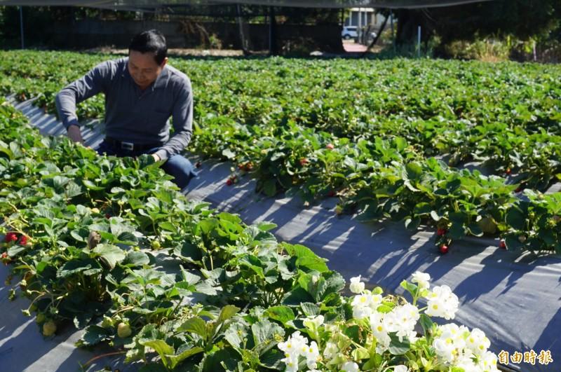 農友許明興表示,因暖冬導致今年草莓減產。(記者歐素美攝)