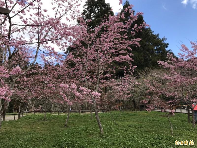 阿里山國家森林遊樂區的河津櫻、阿龜櫻等山櫻花系提前在元月陸續綻放,目前花況達極盛期。(記者曾迺強攝)