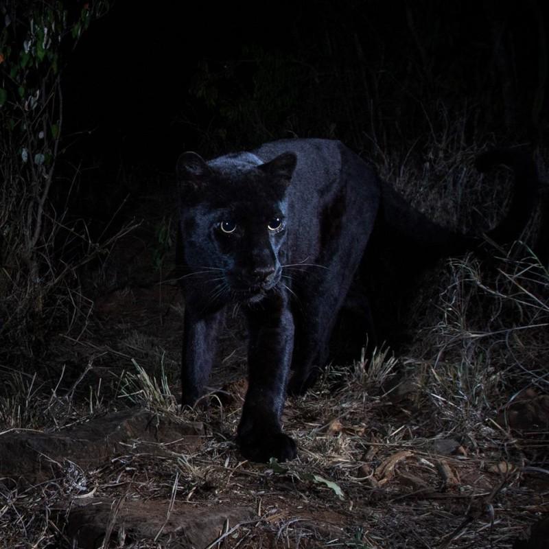 美國聖地牙哥動物園團隊和肯亞保育單位合作,日前終於拍下在非洲極其罕見的黑豹行蹤。(授權:Will Burrard-Lucas)