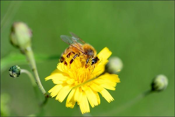 蜜蜂授粉對糧食生產十分重要。(法新社檔案照)