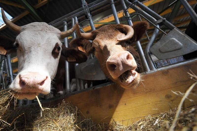 日本和牛在台灣市場頗受歡迎,但直到近年日本近期從口蹄疫疫區除名後,才開放進口,在禁止進口期間,唐姓海關官員護航日本和牛輸台達34噸,時間更長達10年,除了被判刑外,還依「公務員懲戒法」予以撤職。(資料照)
