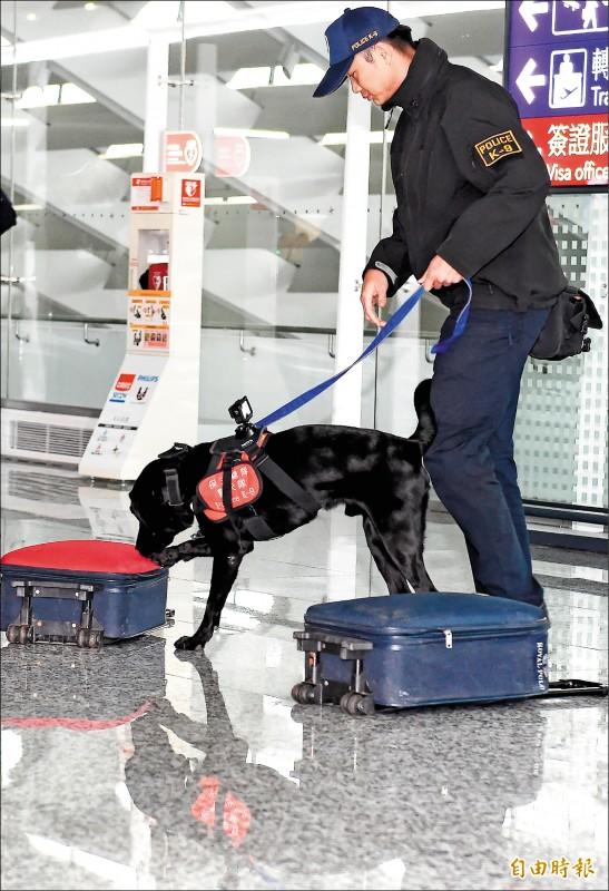 防堵非洲豬瘟入侵,保三總隊遴選8隻緝毒犬訓練轉換成為檢疫犬,協助執行邊境檢疫工作。圖為警犬Funky在眾人面前展現訓練成果。(記者朱沛雄攝)