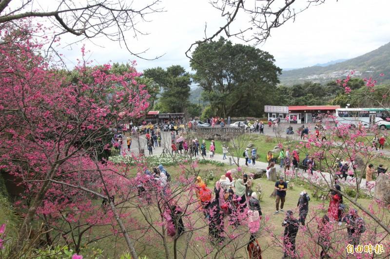 目前陽明山櫻花已開3成,先登場的是台灣特有的山櫻花,2月底都看有機會看到,緊接著就是八重櫻跟著綻放,3月初則是輪到昭和櫻,以及3月中旬後才會展開的吉野櫻。(記者鍾泓良攝)