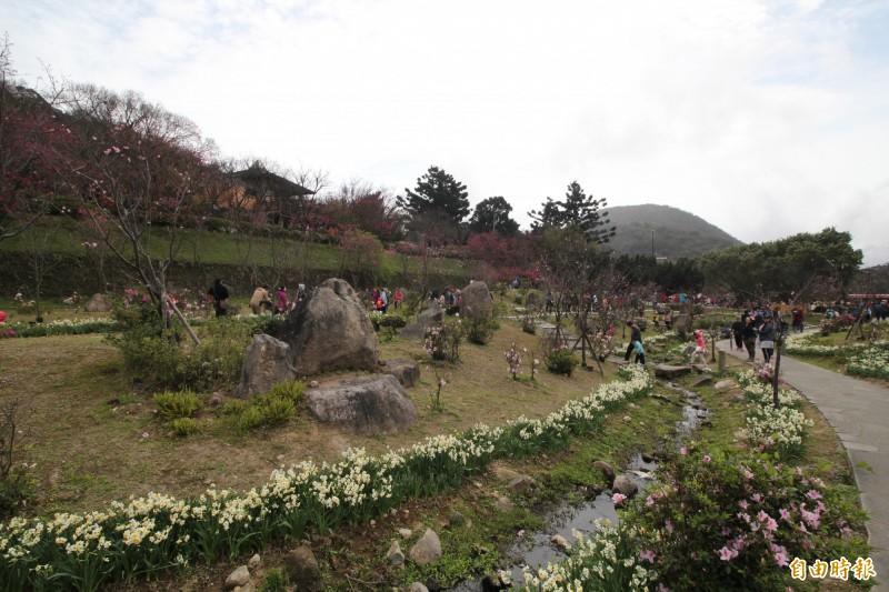 因為今年面臨暖冬,櫻花花期拉長,較難出現大量同時綻放的滿開狀態,但也因此讓各種櫻花接連開花,到3月中旬只要上山都有機會可以賞櫻,近期也可以欣賞到櫻花、台北市市花-杜鵑花並開的榮景。(記者鍾泓良攝)