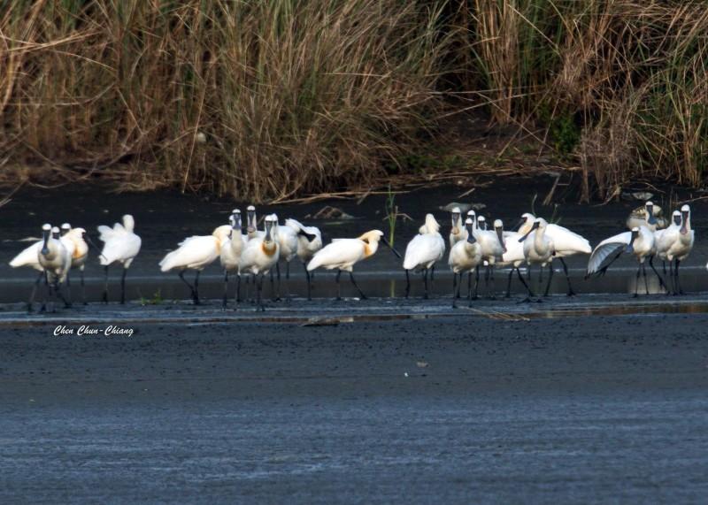 高屏溪口黑面琵鷺數量又破紀錄,還升格為度冬區。(圖:陳俊強提供)