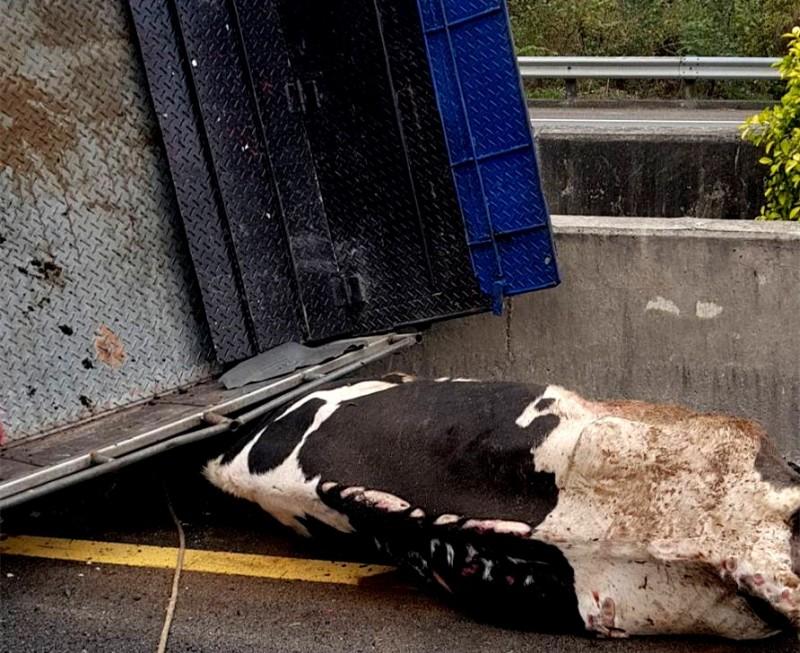 國道3號寶山路段今天發生小貨車翻覆意外,車上載運的乳牛被壓車底沒有動靜,大家原本以為牠已經死了,沒想到被拖吊離開現場後竟恢復生機。(記者蔡孟尚翻攝)