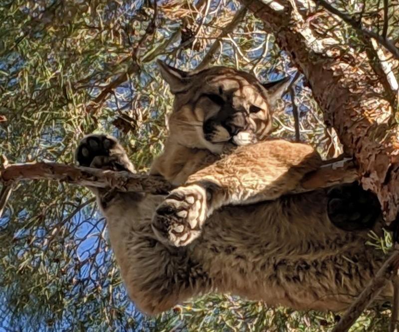 美國加州15公尺高的樹上卡了一隻美洲獅。(美聯社)