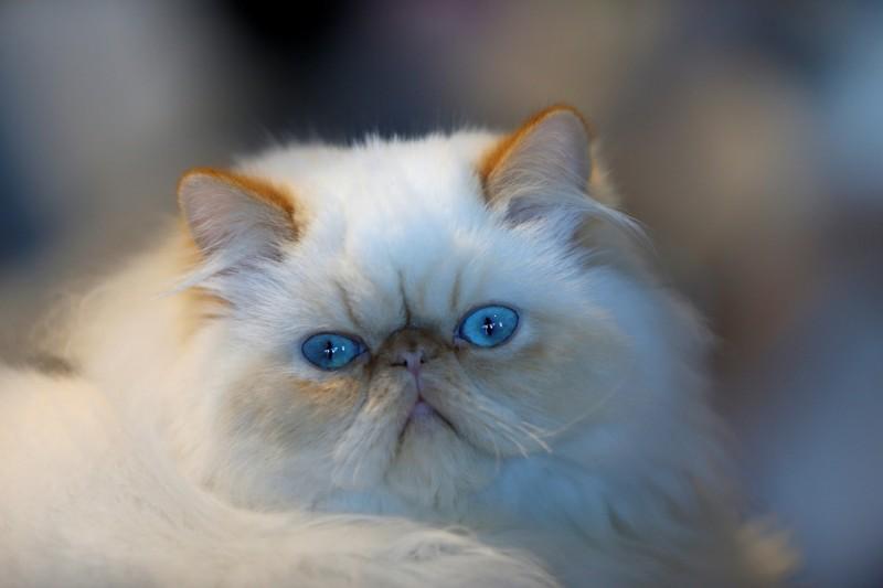 一名香港女子在台灣貓舍偷走2隻名貴波斯貓後,疑似藏在懷中裝成孕婦成功通過桃園機場海關返港。白毛藍眼波斯貓示意圖。(路透)
