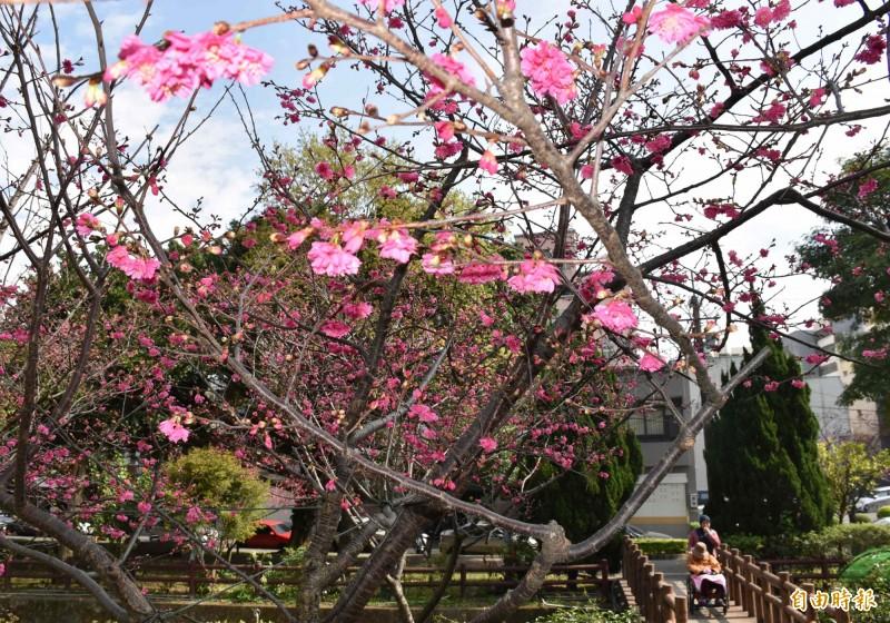 中壢莒光公園的櫻花目前花開2、3成,以緋寒櫻(山櫻)、八重櫻居多。(記者李容萍攝)