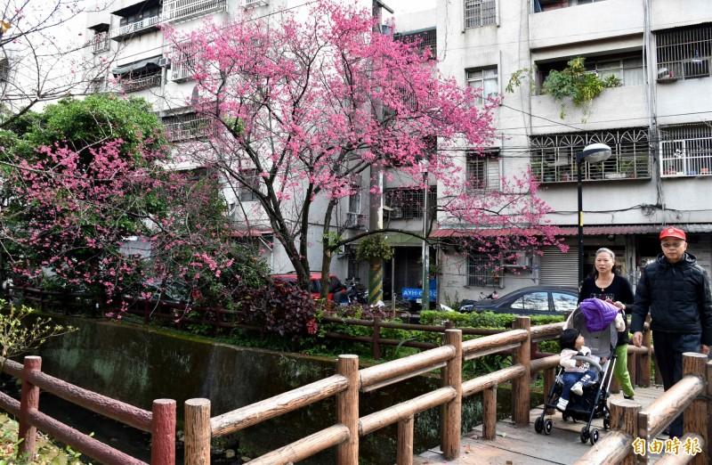 中壢莒光公園的櫻花,沿著小橋流水花團錦簇就是美!(記者李容萍攝)