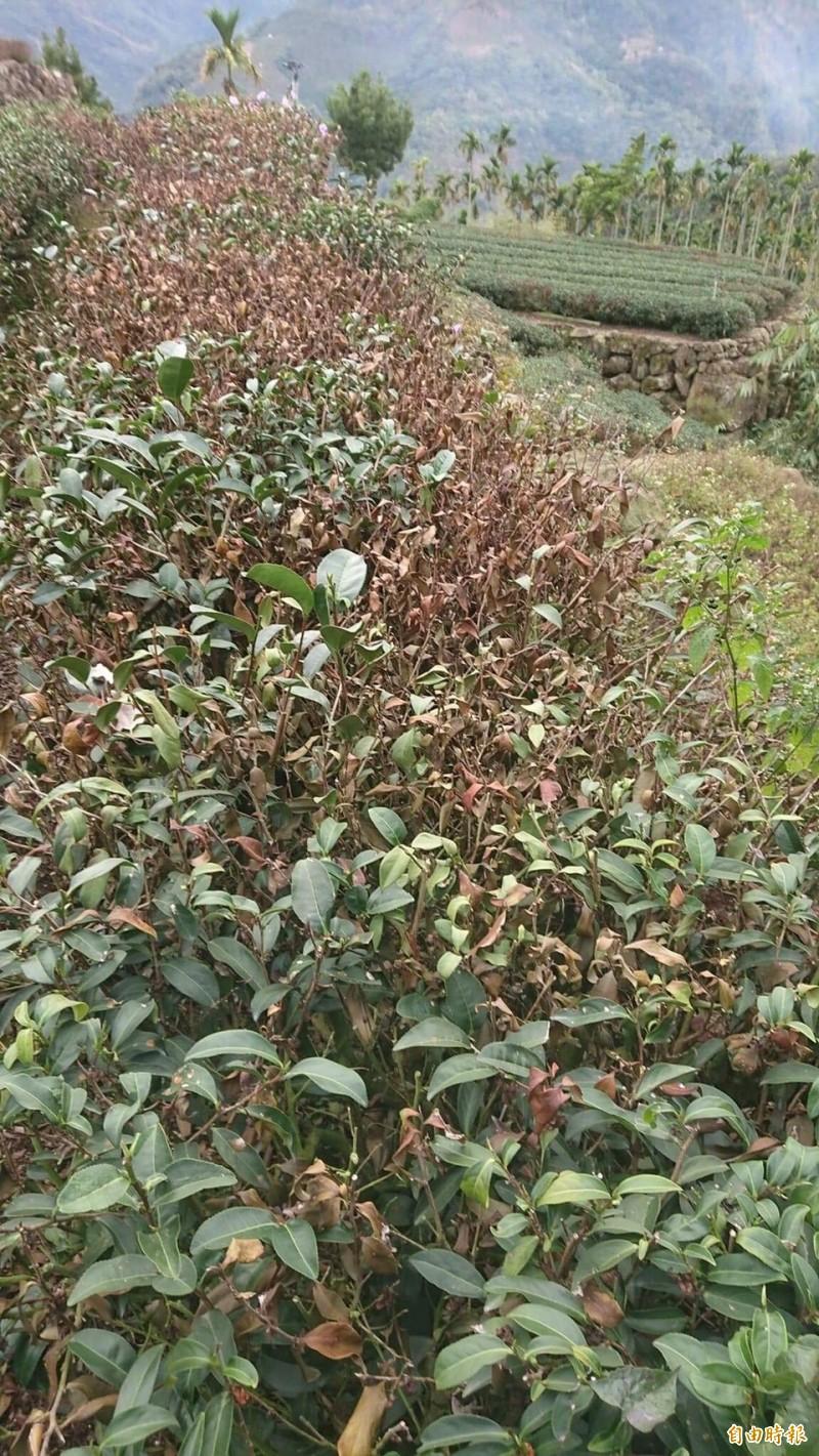 雨量不足,雲林樟湖山區茶樹出現乾枯或枯死情況,茶農憂心再不降雨,今年沒春茶可採。(記者黃淑莉攝)