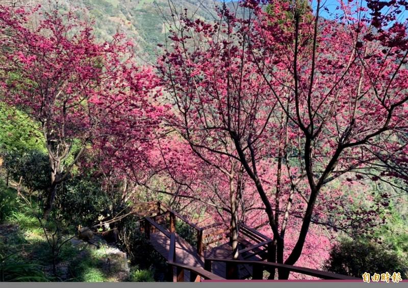 日本各地的櫻花開花時節預期將比往年提早。圖為櫻花示意圖。(本報資料照)