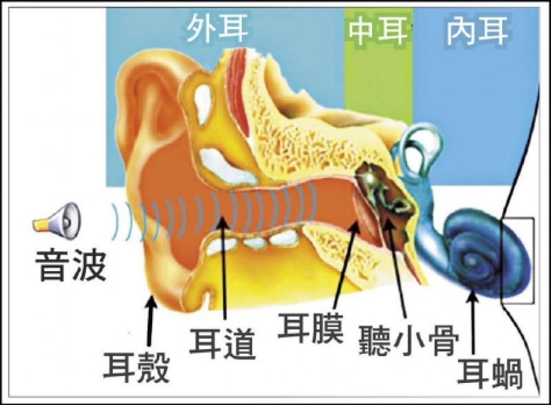 圖為人類耳部圖解。音波由耳殼及耳道組成的外耳接收,之後由耳膜及聽小骨構成的中耳傳送至內耳,內耳包含負責傳達聲音訊息至中樞神經系統的耳蝸。(取自網路)