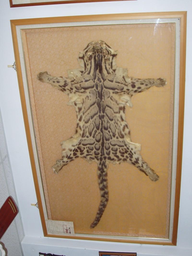 一戶台東市民家中珍藏的標本,宣稱是台灣雲豹真皮。(記者黃明堂翻攝)