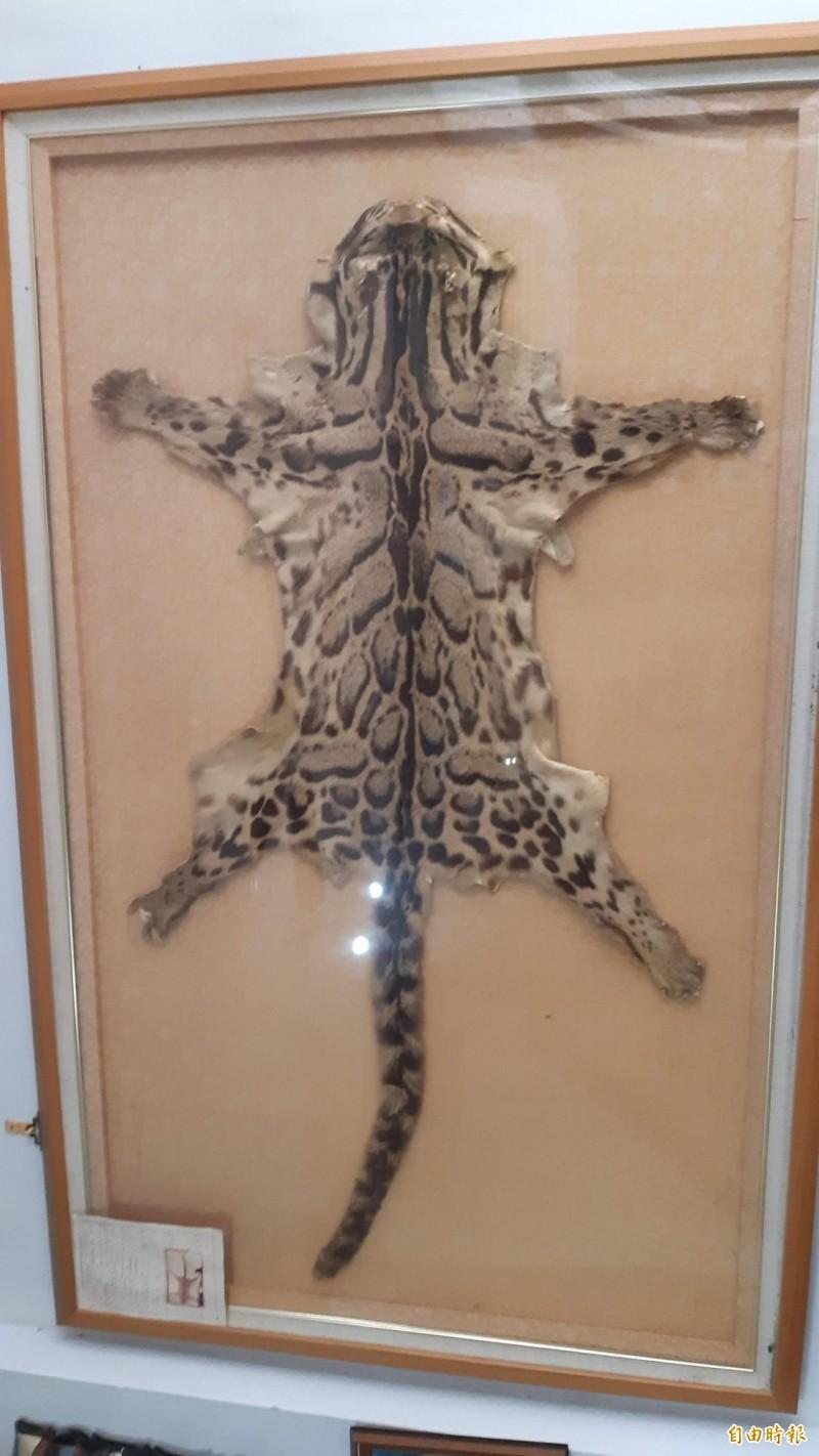 台東市95歲耆老林尚珍家中掛的傳家寶「台灣雲豹」全皮。(記者黃明堂攝)