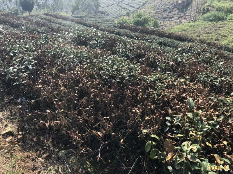 降雨量不足,古坑山區無水源澆灌,茶樹枯死嚴重。(記者黃淑莉攝)